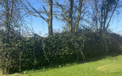 Overgrown Hedge Clear Up